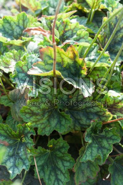 Pelargonium Cocomint