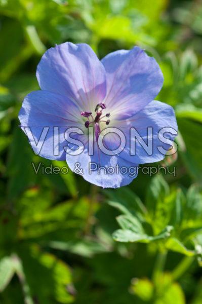 Geranium Happy Buxton