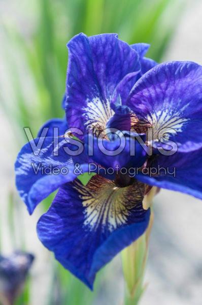 Iris sibirica Kabluey