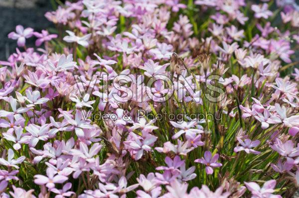 Rhodoxis Summer Stars Pink Blush