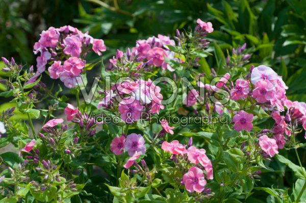 Phlox Freckle Pink Shades