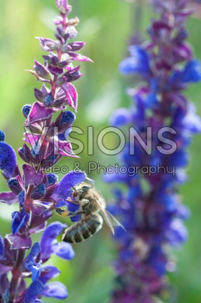 Salvia Sallyrosa Blue
