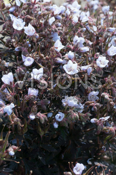 Geranium pratense Black 'n White Army