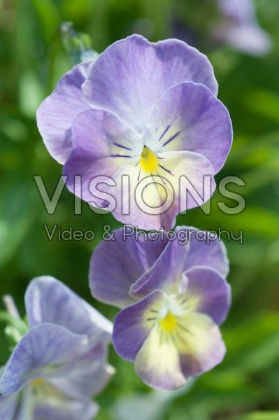 Viola 873