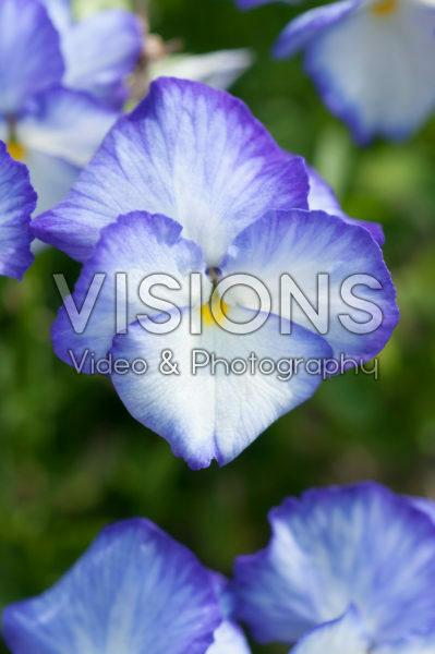 Viola 866