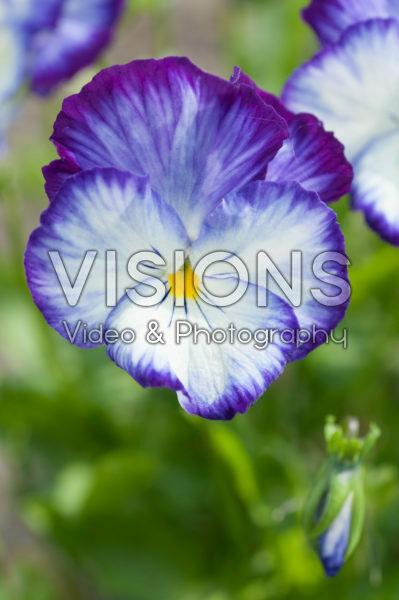 Viola 864