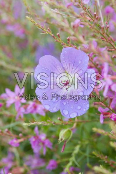 Geranium Rozanne