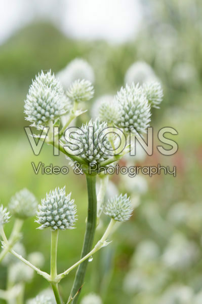 Eryngium yuccifolium