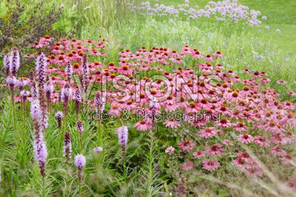 Echinacea, Liatris spicata