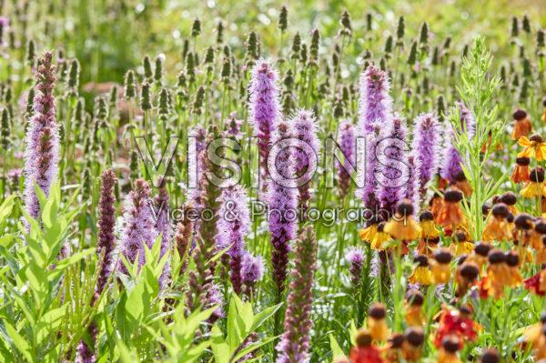 Liatris spicata, Helenium Moerheim Beauty