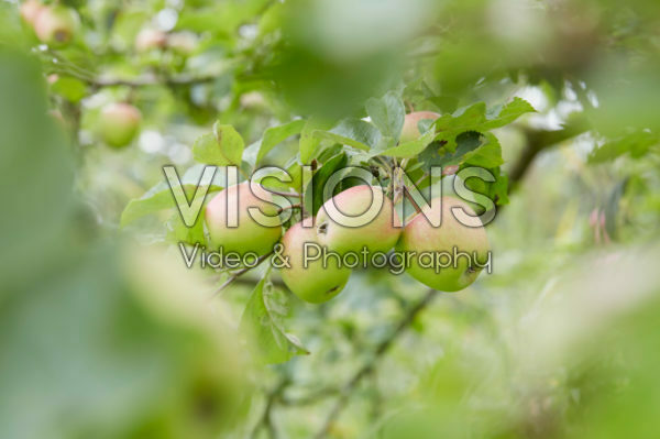 Malus domestica Groninger Kroon