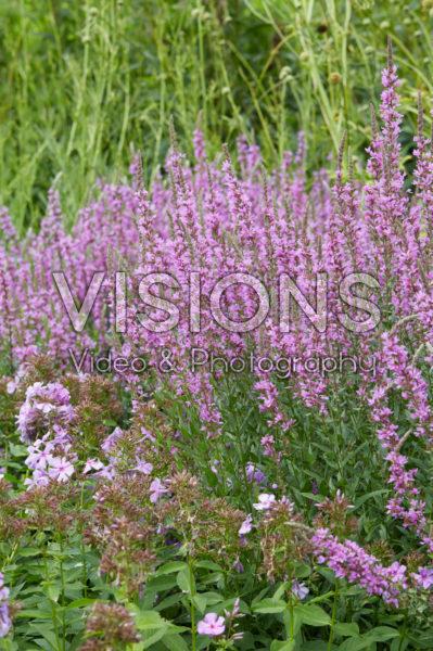 Lythrum virgatum Dropmore Purple