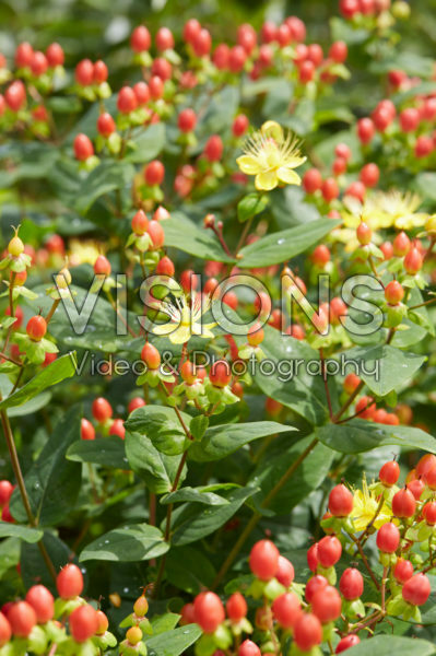 Hypericum x inodorum Excellent Flair