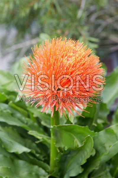 Scadoxus multiflorus subsp. katherinae