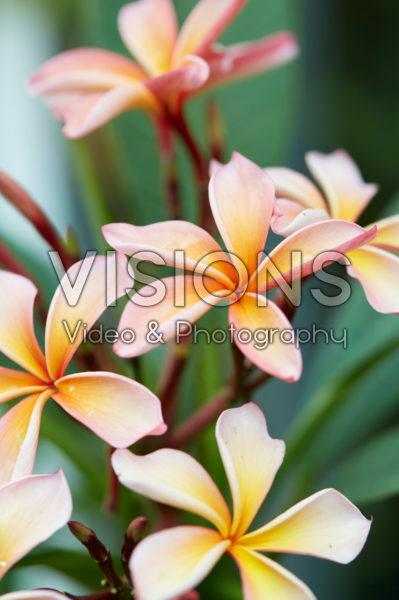 Plumeria rubra Pattaya Star