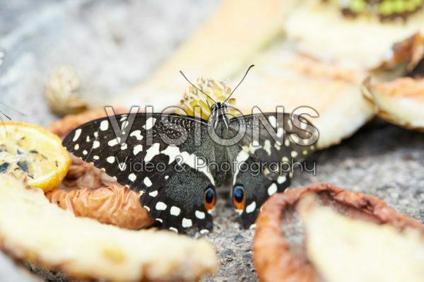 Papilio demoleus, Lime butterfly