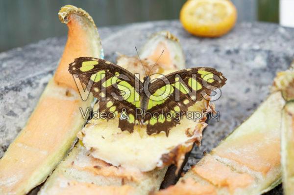 Siproeta stelenes, Malachietvlinder