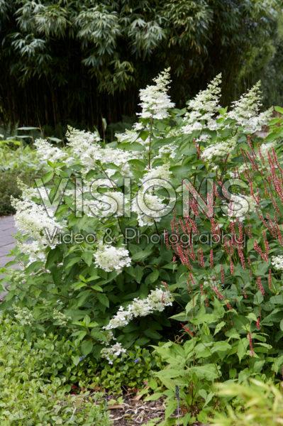 Hydrangea paniculata Floribunda