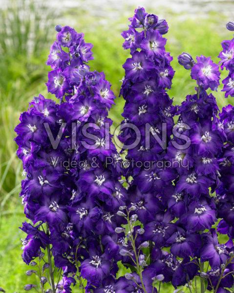 Delphinium Purple White