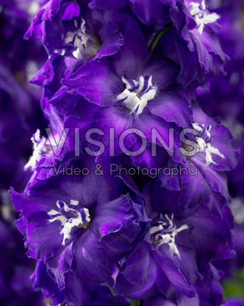 Delphinium Purple White