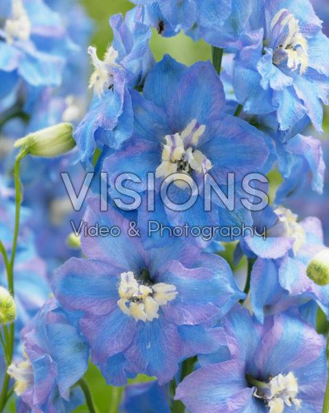 Delphinium Light Blue Pink