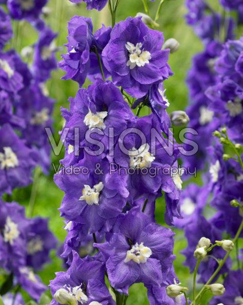 Delphinium Velvet Purple