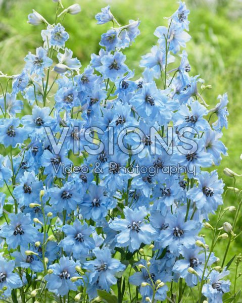 Delphinium Brother