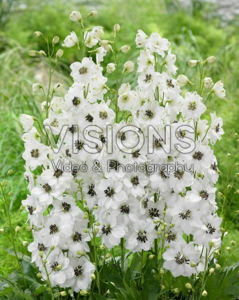 Delphinium White Black