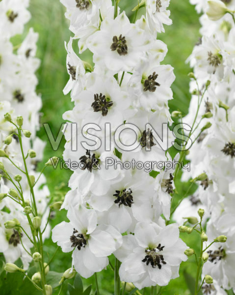 Delphinium White Black