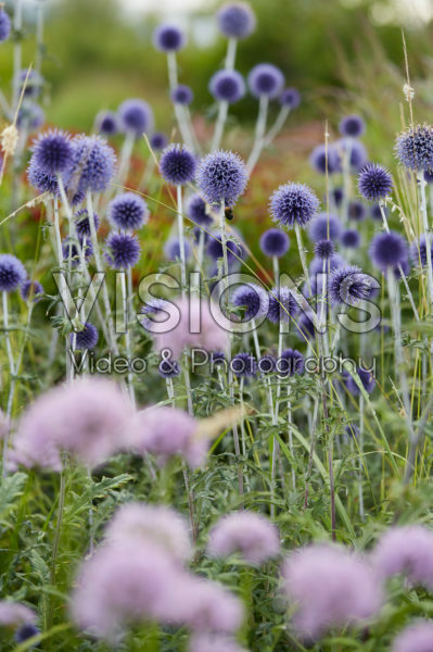 Echinops ritro Veitch's Blue