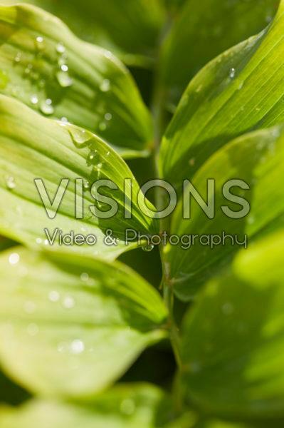Polygonatum x hybridum Weihenstephan