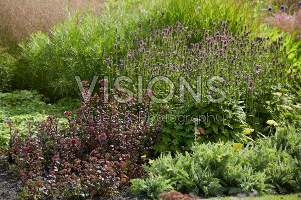 Sedum, Stachys officinalis Hummelo