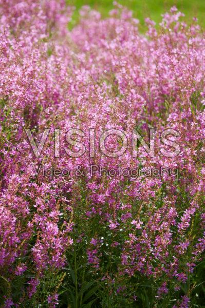 Lythrum salicaria Swirl