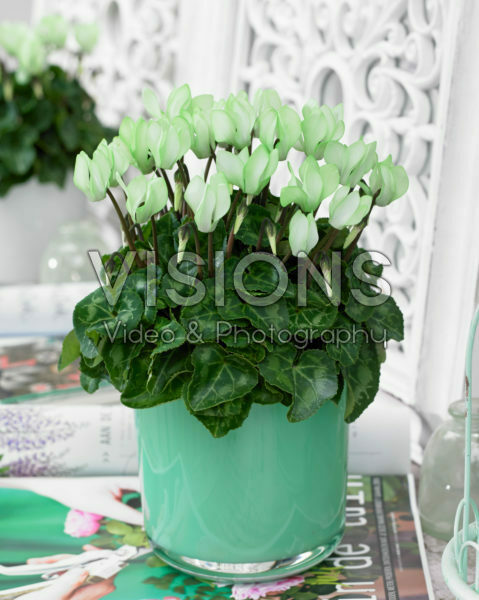 Cyclamen Make-Upz® groen