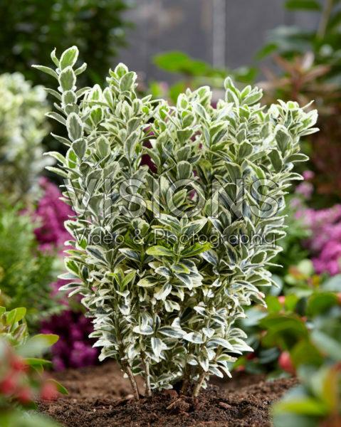 Euonymus japonicus White Spire
