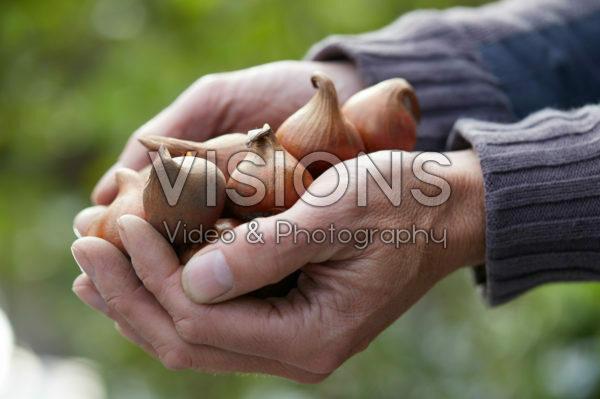Hands holding tulip bulbs