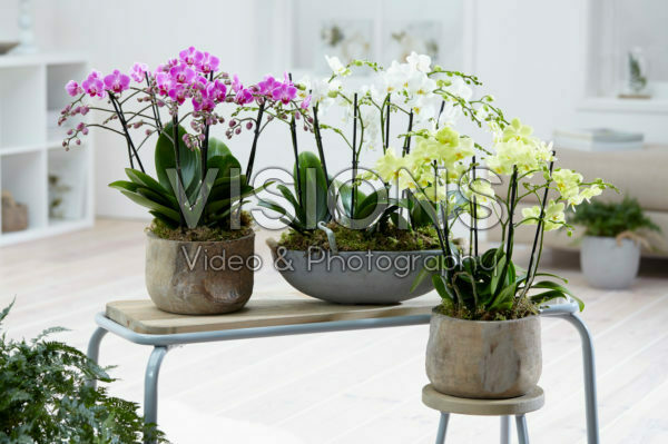 Phalaenopsis Multiflora combinatie