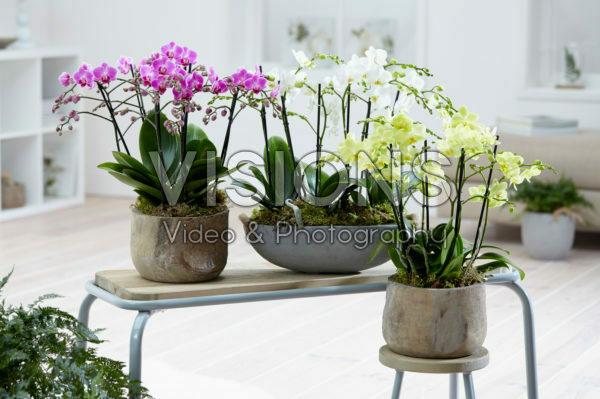 Phalaenopsis Multiflora combination