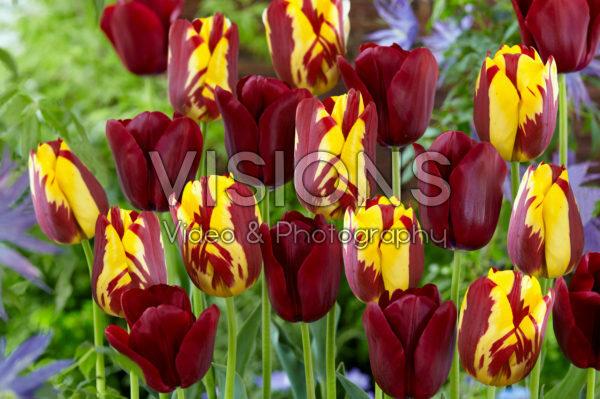 Tulipa Merida, Helmar