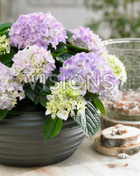 Hydrangea Tabletensia® paars