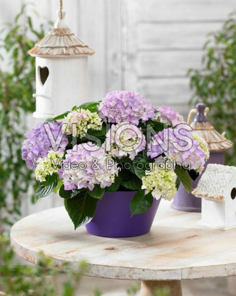 Hydrangea Tabletensia® purple