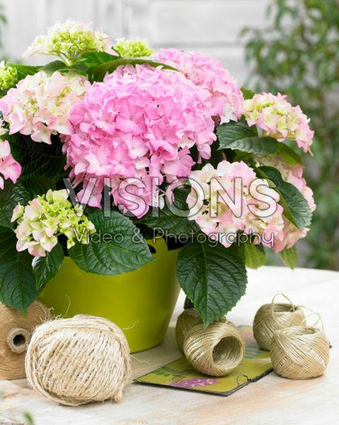 Hydrangea Tabletensia® roze