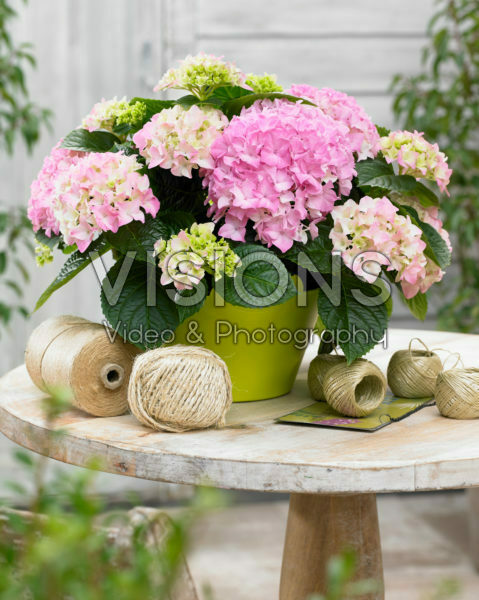 Hydrangea Tabletensia® pink