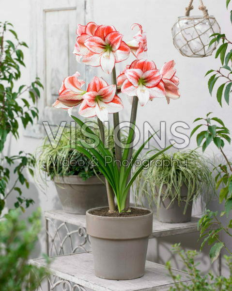Hippeastrum Table Dance