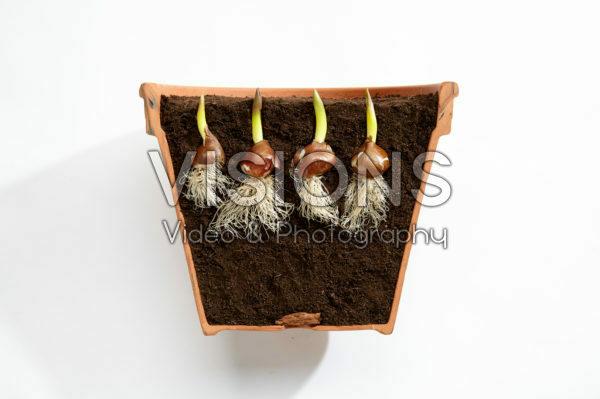 Tulipa bulbs in pot