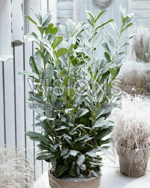Prunus laurocerasus Elly®
