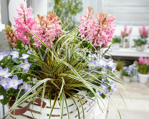 Carex EverColor® Everglow