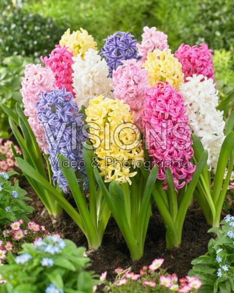 Hyacinthus pastel mix