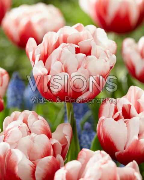 Tulipa Voicemail