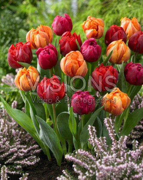 Tulipa Red and Orange Princess, World Bowl